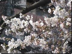 IMG_3642sakura3.jpg