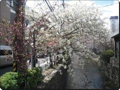 IMG_3647sakura1.jpg